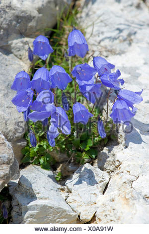 fairies thimbles (Campanula cochleariifolia), blooming in  rockwall, Germany, Nebelhorn - Stock Photo