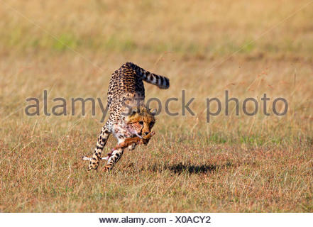 cheetah (Acinonyx jubatus), runs away with part of a cadaver in its mouth, Kenya, Masai Mara National Park - Stock Photo