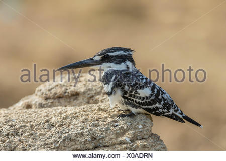 Pied Kingfisher (Ceryle rudis), Chambal River, Rajasthan, India - Stock Photo