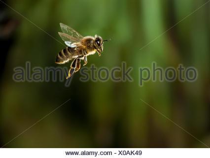 Honeybee (Apis mellifera) in flight, UK - Stock Photo