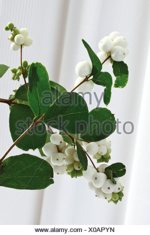 Common Snowberry (Symphoricarpos albus) - Stock Photo