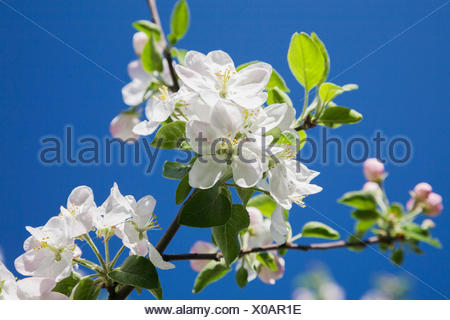 Close-up of white Prunus x eminens (Crimson Passion) - Dwarf sour cherry tree blossoms against blue sky in spring - Stock Photo