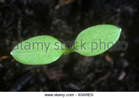 Chickweed Stellaria media seedling cotyledons only - Stock Photo