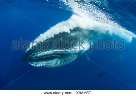 Bryde's whale (Balaenoptera brydei / edeni) expelling air and water from mouth through baleen plates after engulfing part of a baitball of Sardines, Sardinops sagax, off Baja California, Mexico (Eastern Pacific Ocean) - Stock Photo