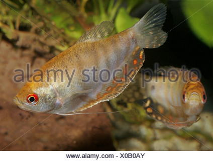 Gold Gourami (Trichogaster trichopterus gold) - Stock Photo
