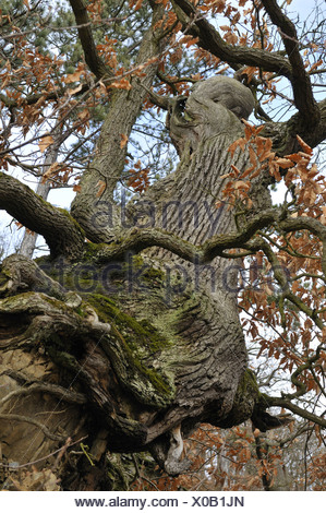 common oak, pedunculate oak, English oak (Quercus robur), gnarled oak in autumn, Germany, Hesse, NSG Kahle Haardt - Stock Photo