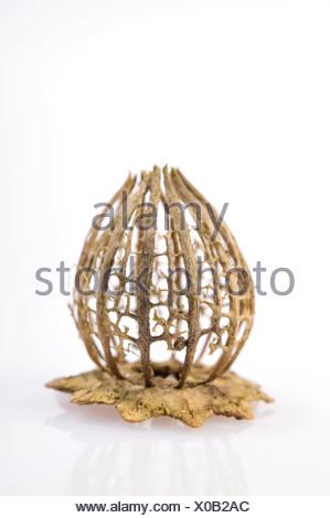 Filigree dried poppy capsule (Papaver) - Stock Photo