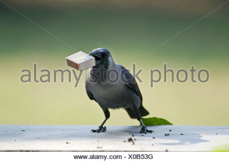 House Crow (Corvus splendens) stealing match box from table Bharatpur India - Stock Photo