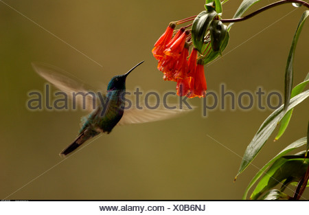 Sparkling Violet ear hummingbird feeding while hovering in front of flower Mindo Cloud Forest Andes Ecuador South America - Stock Photo