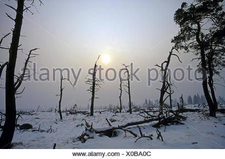 dead trees in front of an approaching winter storm, Belgium, Baraque de Michel, Hohes Venn-Ostbelgien - Stock Photo