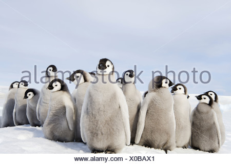 A nursery group of Emperor penguin chicks huddled together looking around A breeding colony - Stock Photo