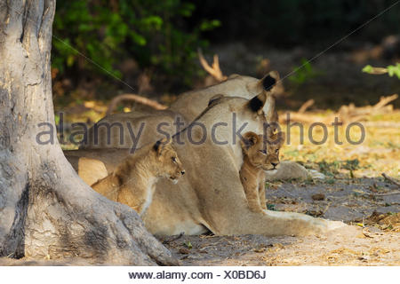 Lion (Panthera leo), two females and two cubs resting in the shade, Chobe National Park, Botswana - Stock Photo