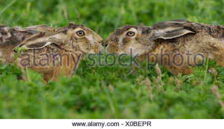 hare propagation smell - Stock Photo