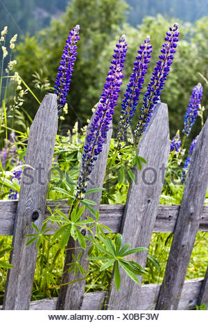 Garden fence, blue lupin, Lupinus polyphyllus, - Stock Photo