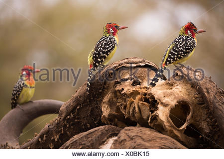 Red and yellow barbets perch on a water buffalo skull. - Stock Photo