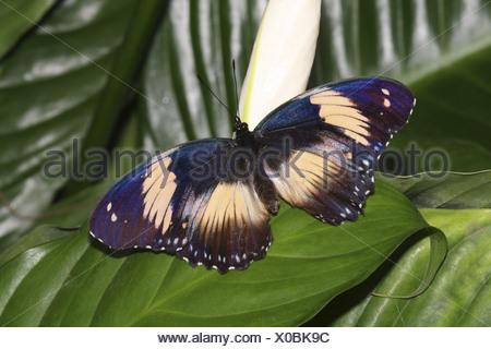 Blue Diadem (Hypolimnas salmacis), sitting on a leaf - Stock Photo
