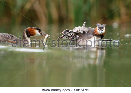 Great crested grebes (Podiceps cristatus) with young birds in the lake, feeding, Baden-Württemberg, Germany - Stock Photo