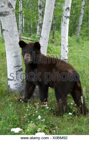 A wild male Black Bear (Ursus americanus) standing next to aspen trees in Sleeping Giant Provincial Park, Ontario, Canada - Stock Photo