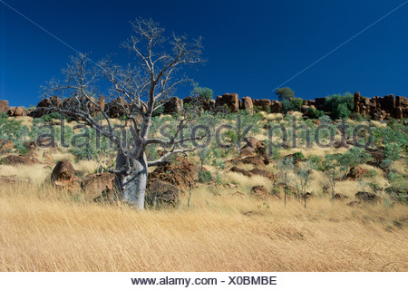 Baobab tree (Adansonia gregorii), Kimberly Region, Western Australia, Australia, Oceania - Stock Photo