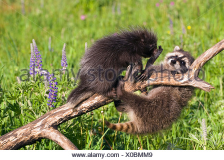 Baby raccoon and porcupine on branch - Stock Photo