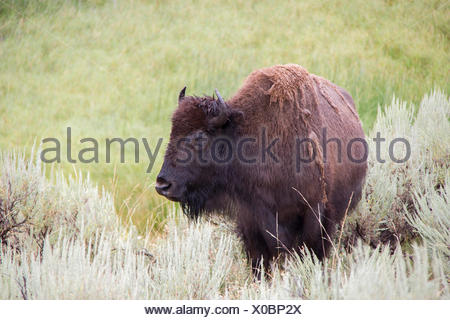 Portrait of a bison in the Lamar Valley. - Stock Photo