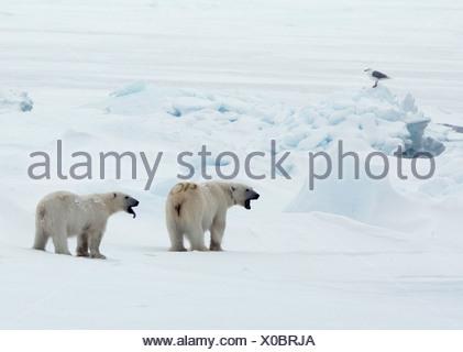 polar bear (Ursus maritimus), female with juvenile, Norway, Svalbard, Bogegrunnane - Stock Photo