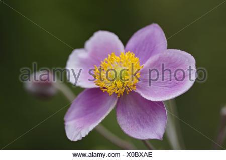 violet anemone - Stock Photo