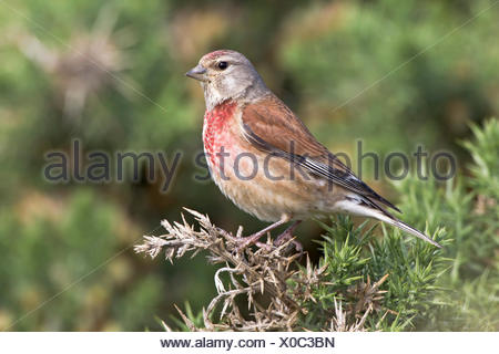 Linnet - Carduelis cannabina - adult male - Stock Photo