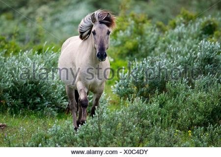 Konik horse (Equus przewalskii f. caballus), walking between shrubs, Belgium - Stock Photo