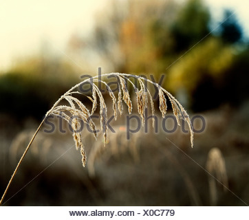 Frost on grains - Stock Photo