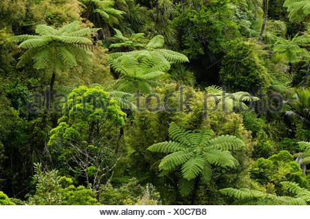 Rainforest vegetation, tree ferns, New Zealand - Stock Photo