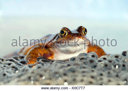 Grasfrosch, Gras-Frosch (Rana temporaria), mit Froschlaich, Deutschland | common frog, grass frog (Rana temporaria), with spawn, - Stock Photo