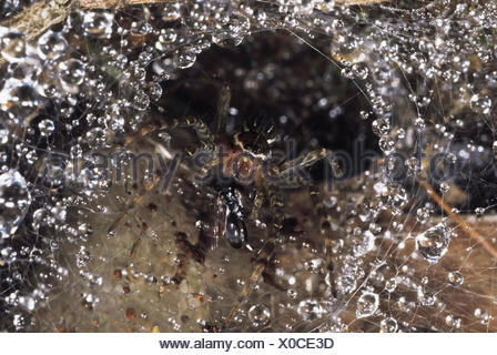 Funnel-web spider. This spider has a wasp in its jaws.Seven of its eight eyes are visible. Valvan lake shores, Maharashtra, India. - Stock Photo