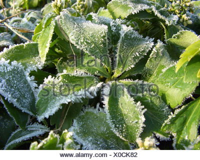Japanese pachysandra, Japanese-spurge (Pachysandra terminalis), leaves with hoarfrost - Stock Photo