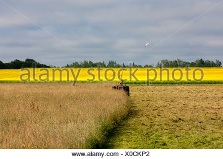 Farmer cutting hay in front of Canola Field in bloom, Guernsey Cove, Prince Edward Island, Canada - Stock Photo