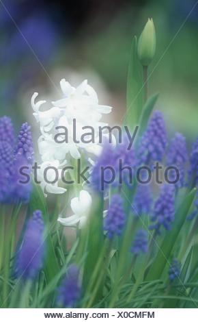 Jacinthe and grape hyacinth (Hyacinthus orientalis & Muscari racemosum), blooming, double exposure - Stock Photo