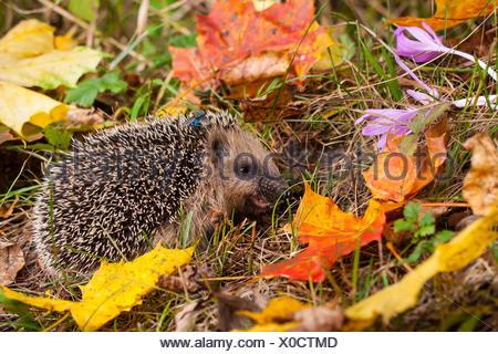 Western hedgehog, European hedgehog (Erinaceus europaeus), young hedgehog in food intake in autumn, Switzerland, Sankt Gallen - Stock Photo