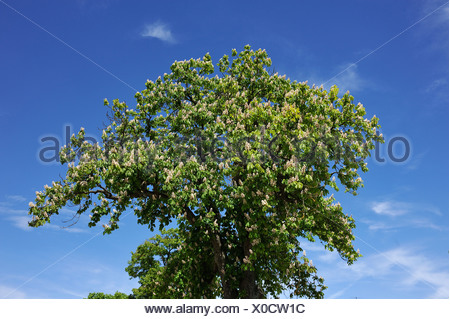 Horse-Chestnut (Aesculus hippocastanum), flowering, against a blue sky, Dennenlohe, Middle Franconia, Bavaria - Stock Photo
