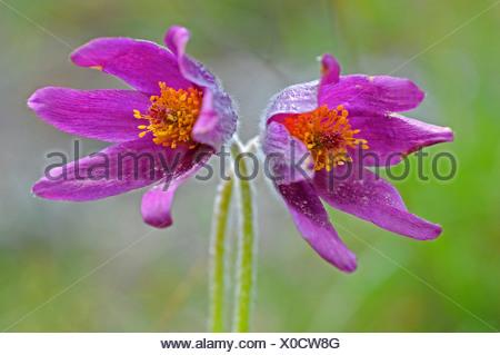 Pasque flower (Pulsatilla rubra) - Stock Photo