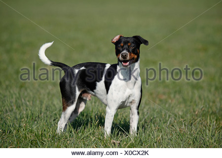 Dansk Svensk Gaardshund - Stock Photo