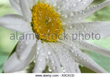 Oxeye daisy in the Rain - Stock Photo