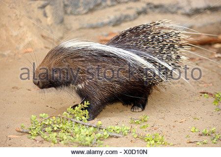 Cape Porcupine, South Africa / (Hystrix africaeaustralis) - Stock Photo