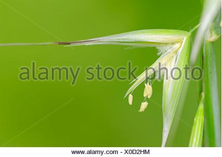 Animated Oat - Stock Photo