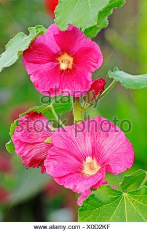 Hollyhock (Alcea rosea, Althaea rosea, Althaea chinensis), North Rhine-Westphalia - Stock Photo