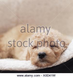 Puppy dog sleeping in basket - Stock Photo