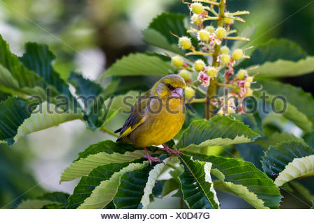 European greenfinch - Stock Photo