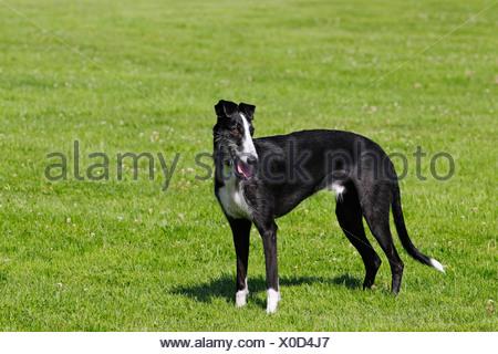 Galgo Espanol, Spanish Galgo, Spanish Greyhound (Canis lupus familiaris) - Stock Photo