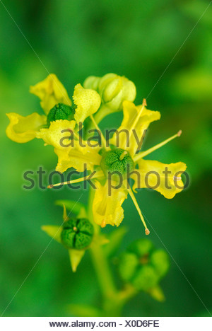 Rue, Herb of Grace - Stock Photo