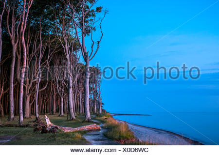 Beech forest on the Baltic coast in the evening light, ghost forest, Nienhagen, Mecklenburg-Western Pomerania, Germany - Stock Photo
