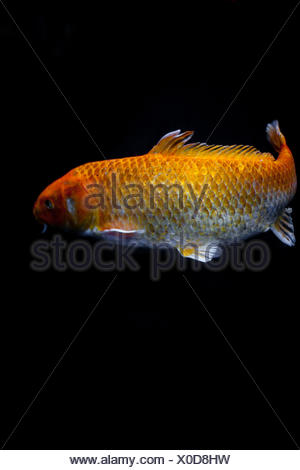 Goldfish in front of black background - Stock Photo